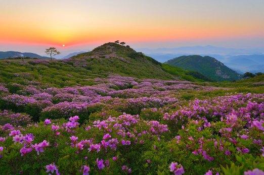 royal-azaleas-mt-hwangmaesan-south-korea