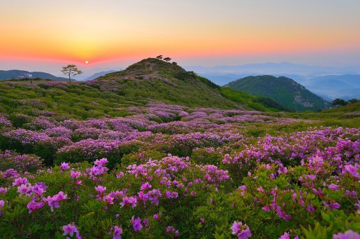 royal-azaleas-mt-hwangmaesan-south-korea