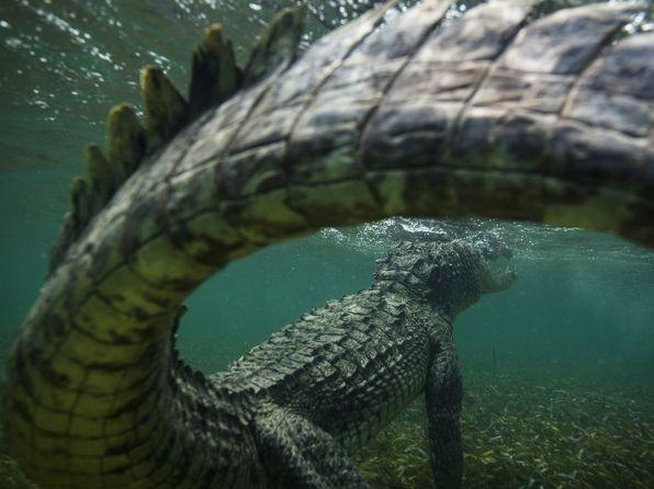 american-crocodile-caribbean-sea_82044_990x742