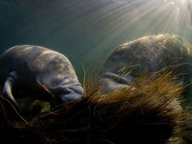 manatee-crystal-river-underwater_88361_990x742