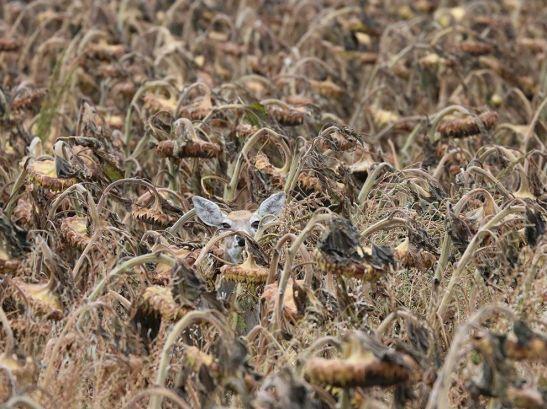 deer-sunflower-camouflage_89478_990x742