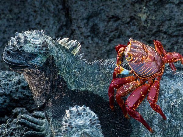 sally-crab-iguana-galapagos_89335_990x742