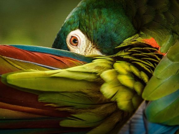 illiger-macaw-ngpc2015_92847_990x742