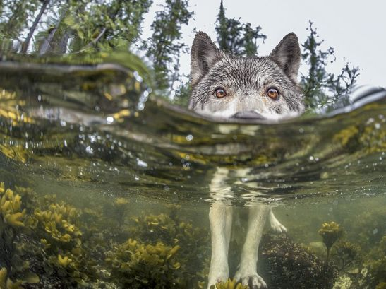 sea-wolf-water_92236_990x742
