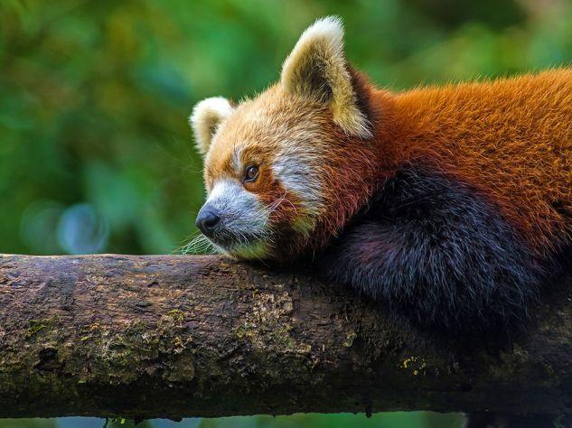 darjeeling-red-panda_94099_990x742
