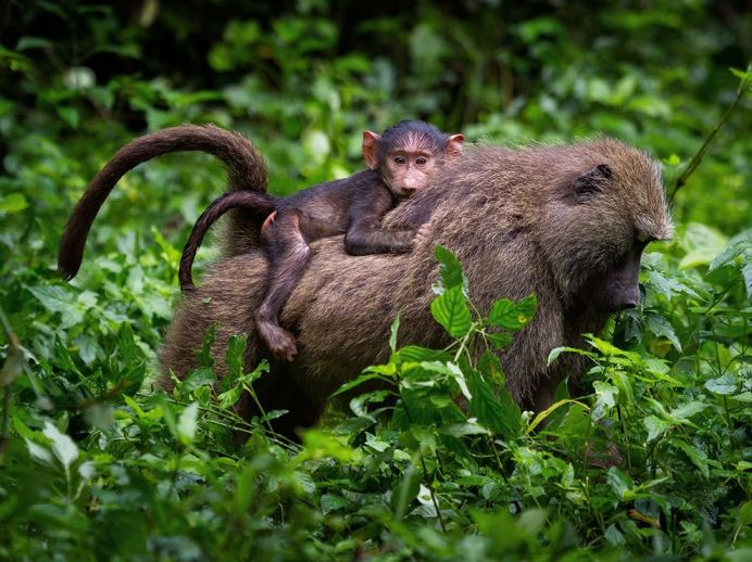 kibale-baboons_94431_990x742
