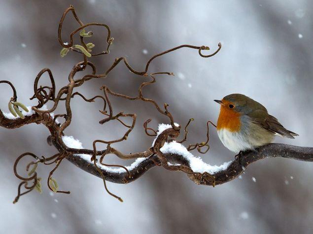 snowy-robin-sweden_94056_990x742